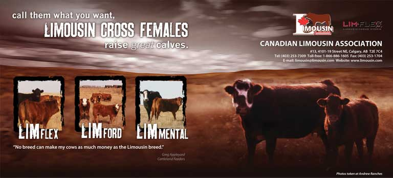Limousin Cross Females